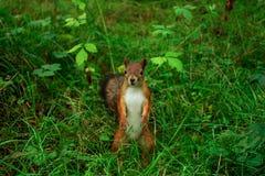 Vida selvagem do esquilo Foto de Stock Royalty Free