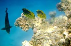 Vida subacuática de los pescados de la mariposa en el Mar Rojo Fotos de archivo libres de regalías