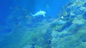 Vida subacu?tica de los tiburones Batoidea de los pescados almacen de metraje de vídeo