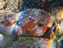Vida subaquática do mar tropical Imagens de Stock Royalty Free