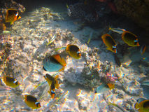 Vida subaquática do mar tropical Fotos de Stock