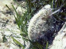 Vida subaquática, shell nobre da pena, nobilis da barbatana Fotografia de Stock