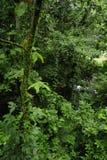 A vida vegetal luxúria, tropical cerca a fuga de caminhada da floresta úmida na reserva biológica de Trimbina fotos de stock royalty free