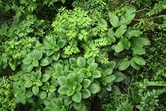 A vida vegetal luxúria, tropical cerca a fuga de caminhada da floresta úmida na reserva biológica de Trimbina fotos de stock