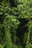 A vida vegetal luxúria, tropical cerca a fuga de caminhada da floresta úmida na reserva biológica de Trimbina foto de stock royalty free