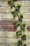 Vida verde no tijolo Fotografia de Stock