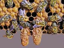 Vida y reproducción de abejas. Imagen de archivo libre de regalías