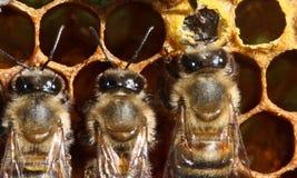 Vida y reproducción de abejas Fotografía de archivo libre de regalías