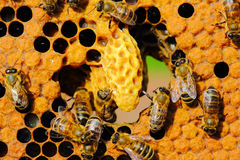 Vida y reproducción de abejas Foto de archivo