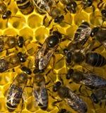 Vida y reproducción de abejas La abeja reina pone los huevos en el honeyco Fotografía de archivo