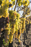 Vidal White Wine Grapes Hanging sulla vite nella caduta tarda #5 Fotografia Stock
