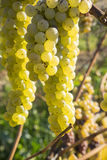 Vidal White Wine Grapes Hanging on the Vine in Late Fall Stock Photos