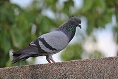 Vidas de la paloma en el parque público de NONGPRAJAK Foto de archivo libre de regalías