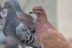 Vidas de la paloma en el parque público de NONGPRAJAK Fotos de archivo libres de regalías
