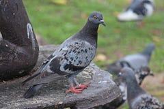 Vidas de la paloma en el parque público de NONGPRAJAK Imágenes de archivo libres de regalías