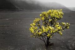 Vidas de Ohia arbusto no vulcão Fotografia de Stock Royalty Free