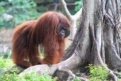 Vidas de orangutanes Imágenes de archivo libres de regalías