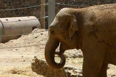Vidas do elefante no jardim zoológico Imagem de Stock