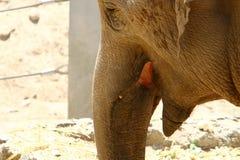 Vidas do elefante no jardim zoológico Fotografia de Stock