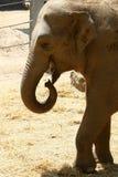 Vidas do elefante no jardim zoológico Fotografia de Stock Royalty Free