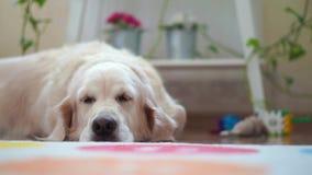 Vidas felices del perro grande hermoso de los animales domésticos en casa - que descansa en el cuarto almacen de metraje de vídeo