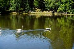 Vidas sós das cisnes no natural foto de stock royalty free