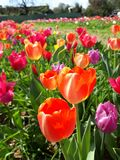 Vidd av den färgrika ängen för tulpan på våren Härlig solig marsdag Tusen färger av holländska tulpan royaltyfri foto