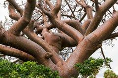 Vide de gombo/arbre de Coperwood image stock
