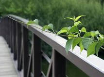 Ivy Vine 1 Imagens de Stock Royalty Free