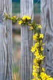 Videira amarela da flor fotografia de stock royalty free
