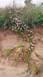 Videira cor-de-rosa selvagem! Imagens de Stock Royalty Free