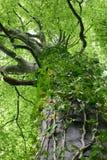 Videira da árvore Imagem de Stock