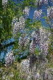 Videira da glicínia na flor completa da tarde-mola imagem de stock royalty free