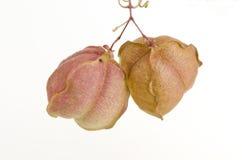 Videira de balão, ervilha de coração, semente do coração, ervilha de coração com folhas lisa em um fundo branco Foto de Stock Royalty Free