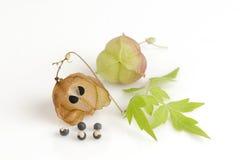 Videira de balão, ervilha de coração, semente do coração, ervilha de coração com folhas lisa em um fundo branco Imagens de Stock