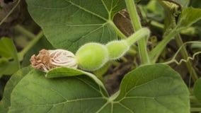Videira de cabaça do aviário com flor da flor que morre e crescimento de fruto Fotos de Stock Royalty Free