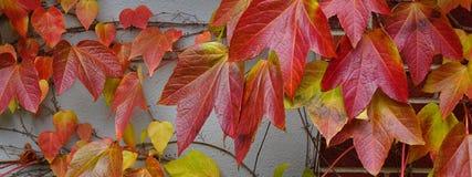 Videira de escalada em cores da queda Fotografia de Stock Royalty Free