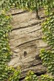 Videira de escalada na parede de madeira Fotografia de Stock Royalty Free