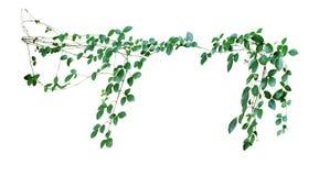 Videira de escalada, trifolia de Cayratia & x28 selvagens; Linn & x29; Domin isolado sobre Foto de Stock Royalty Free