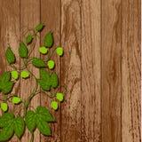 Videira de lúpulo em uma parede de madeira. Imagem de Stock