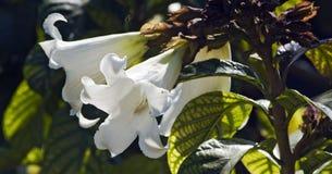 Videira do lírio de Páscoa na flor Imagens de Stock Royalty Free