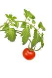 Videira do tomate Imagens de Stock Royalty Free