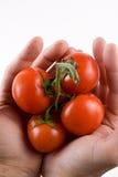 Videira do tomate nas mãos do homem Imagens de Stock