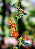 Videira do Wildflower Imagem de Stock
