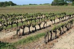 Videira em Provence Imagens de Stock Royalty Free