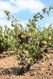 Videira em Roussillon Fotografia de Stock