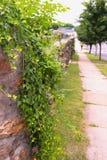 A videira frondosa conecta para baixo a parede de pedra no passeio da vila fotos de stock royalty free