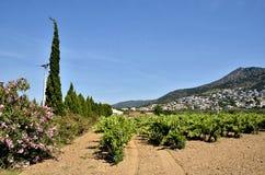 Videira na região das rosas em Spain Foto de Stock Royalty Free