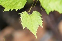 A videira no céu, com folha verde luxúria Fotografia de Stock Royalty Free