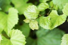A videira no céu, com folha verde luxúria Imagens de Stock Royalty Free